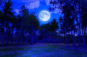 Pine forest at midnight with a bright full moon