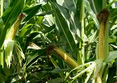 Close-up of green husked ear of corn in field