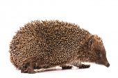 Nice hedgehog animal isolated on white background