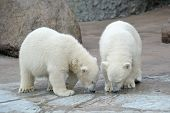 Two little polar bears drink from a pool