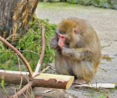 Hungry female monkey eats conifer