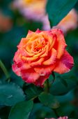 Hybrid Tea Is An Informal Horticultural Classification For A Group Of Garden Roses. They Were Create poster