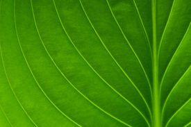 image of photosynthesis  - Texture of a green leaf as background - JPG