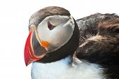 Detailed portrait of the puffin (Fratercula arctica) against a white background. West Fjords in the