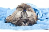 Funny Puppy With A Blue Towel