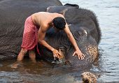 Man washing his elephant on the banks of river Periyar, India