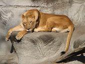 schläfrig Löwe