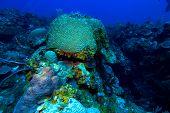 Постер, плакат: Мозг Коралл faviidae вблизи Кайо Ларго Куба