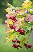 Viburnum In The Autumn Forest