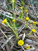 the young flowers of coltsfoot
