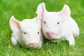 foto of pig-breeding  - Two young piglet on green grass at pig breeding farm - JPG