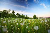 Sunset on a spring meadow with flowers and dandelions