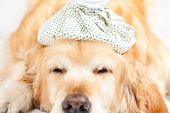 stock photo of hot-water-bag  - Dog with a bag of cold water on his head - JPG