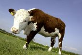 stock photo of hereford  - a single female pedigree Hereford Cow in buttercup field - JPG