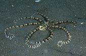 Mimic Octopus In Lembeh Straits
