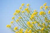 Yellow Rapeseed Oil (canola)