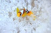 Anemone fish in bleached host sea anemone
