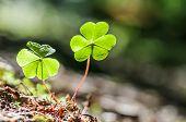 two clover leaf on dark background
