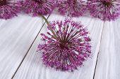 Alium purple flower