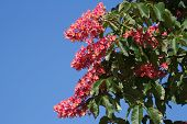 Flowers red chestnut against the sky
