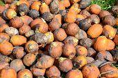 Ripe Areca Nut Kept For Drying