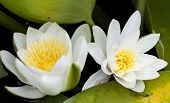 White water lily in a dark pond