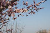 Blossom of apricot blossom