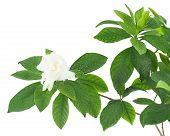 Gardenia Flower (gardenia Jasminoides) Isolated On White Background.