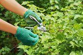 Hands With Pruner In The Garden.
