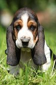 Adorable Puppy Basset Hound Looking At You