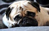 stock photo of pug  - pug lying on the sofa looking at the camera - JPG