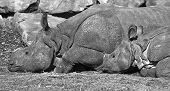 Indian Rhinoceros-black And White