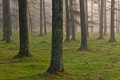 Floresta de lariço europeu