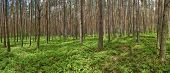 Panoramic Picture Of Spring Pine Forest