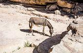 picture of wild donkey  - Free wild Donkey is grazing in desert - JPG