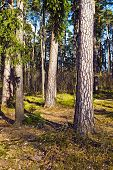 Coniferous Forest In Sunny Day