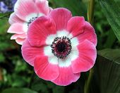 foto of mona lisa  - pink blush flower for background uses in nature daytime 
