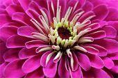 pic of zinnias  - A single beautiful pink zinnia flower closeup - JPG