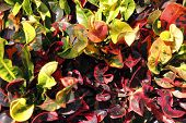 stock photo of crotons  - Closeup of tropical croton plant bush red yellow orange and green leaves on a sunny winter day in Florida - JPG