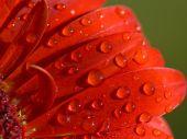 Drops On The Petals