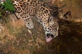 Jaguar Drinking From Pond