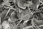 B&w Of Frosty Leaves.