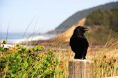 Crow At The Beach