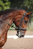 Beautiful Sport Horse Portrait During Dressage Test