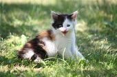 Tricolor Kitten Sitting On The Grass Meowing