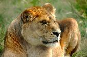 Lioness in repose