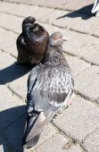 Close-up Of Gray Pigeons