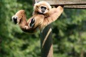 Monkey Playing