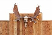 stock photo of bestiality  - Skull Moose front view hung on wooden wall - JPG