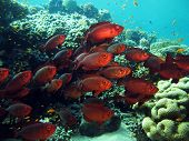 picture of bigeye  - A school of red bigeyes swimming against current - JPG